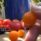Galapagos Island Tomato