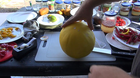 Here is the Golden Honeydew melon, Cucumis melo. This melon fruit grows best in semiarid climates and is harvested based on maturity, not size. Maturity can be hard to judge, but it is based upon the ground color ranging from greenish white (immature) to creamy yellow (mature). Quality is also determined by the honeydew having a nearly spherical shape with a surface free of scars or defects. A honeydew should also feel heavy for its size and have a waxy rather than a fuzzy surface. These melons get to 8 inches round and have a bright yellow color. Vines can get to 15 feet long and tend to be powdery mildew resistant. They have a nice sweet but smooth taste and have a soft but chewy flesh. We find them great for smoothies and eating fresh! Open pollinated 70 to 90 days from transplant.