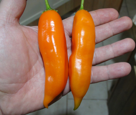 Here is the Aji Amarillo Pepper, Capsicum baccatum, Scoville units: 30,000 to 50,000 SHU. The Aji Amarillo Pepper originates from Peru. This pepper is literally named yellow chili pepper. But its color changes to a bright orange as it matures. The chili pods have a thick skin, 4 to 5 inches long with a nice warm glowing burn. Plants can get to 5 feet tall and spread out. It is used to make Causa Rellena,a classic Peruvian dish. You can Grow it as an ornamental, or in the vegetable garden, or both! Open pollinated, 90 days.