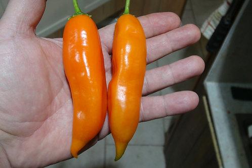Here is the Aji Amarillo Pepper, Capsicum baccatum, Scoville units: 30,000 to 50,000 SHU. The Aji Amarillo Pepper originates