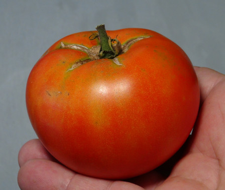 Here is the Burrell's Special Tomato, Solanum lycopersicum. This tomato originates from Rocky Ford, Colorado, USA and was created by Burrell's seed company. This is a classic slicer sized tomato that has a orange skin and orange flesh inside getting to about 2 inches round and weighting around 5 oz. The thing about this variety is it's a very uniform almost commercial type tomato! Plants can get to 5 feet tall in really good soil but plants tend to get to 4 feet tall. The fully ripened fruits will have a slight ribbing to them. Great tasting tomatoes for salads, eating fresh and for tomato sauce and paste! Open pollinated indeterminate regular leaf mid season 55-67 days.