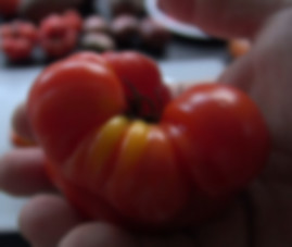 """Here is the Costoluto Genovese Tomato, Solanum lycopersicum, This tomato is an old world Italian tomato dating back to the 1800's! This tomato is considered a """"ugly"""" or """" fluted"""" type. They are great producers with fruit sizes 2 to 7 OZs and are crack-resistant with smooth skinned fruits and a nice balance of sweet and tangy flavor witch makes a great tomato sauce. They are Mid-season, indeterminate, regular leaf type tomato verity. Resistance to fusarium wilt and verticillium wilt. Semi-Determinate. Open pollinated 80 days."""