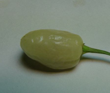 Here is the White Bullet Habanero Pepper, Capsicum chinense, Scoville units: 250,000+ SHU. This is a wild Peruvian habanero pepper that really packs a punch! Fruits are smaller than other Habanero's, about 1 inch long. Low growing plants are profuse bloomers and can produce several hundred fruits in a season! Gorgeous and rare. Easily container grown, or as an annual. Open pollinated, 70 days.
