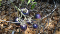 Here is the Blue Bayou Tomato, Solanum lycopersicum. It was created by Tom Wagner, from Washington. This is a blue to dark purple in color tomato with a nice balance of sweet and tangy flavor witch makes 1 to 2 inch fruits. This tomato needs to be in full direct sun to get good color on it. Plants are a pretty good producer but need some attention. A good northern climate tomato verity Indeterminate. Open pollinated 85-90 days.