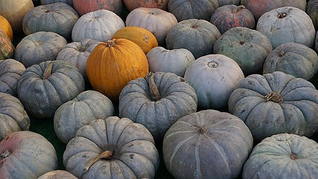 Here is the Jarrahdale Pumpkin, Cucurbita maxima. This medium sized blue pumpkin originates from New Zealand and has a blueish-gray-green skin with a orange flesh inside! They can range in color from a light blue to slate gray with heavy ribbing. Gettingto around 6 to 12 Lbs and 16 inches in size, plants can make as many as 8 per plant. These pumpkins can sit on the shelf for months before going bad! They are edible and make a great pumpkin pie. seeds are also really good roasted. Plants can get to 15 feet long and are considered a high heat loving variety. Theyare a eye catchy pumpkin for sure!. Open pollinated. 80 to 100 days.