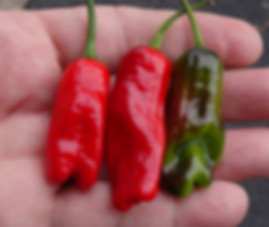 Here is the HR 215 Hot Pepperoncini Pepper, Capsicum annuum longum, Scoville units: 10,000 ~ 30,000+ SHU. This is a cross between a Italian Pepperoncini and a tricolor Variegata pepper. These peppers are super hot and have a great flavor! The peppers in the video are from an F-2 and are still unstable. The plants are heavy producers and can put out well over a 100 pods per plant! They will also start producing early in the season. Plants get to around 3 feet tall and bushy. Great are great for drying, pickling and roasting. Open pollinated, 60 days.