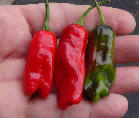 Here is the HR 215 Hot Pepperoncini Pepper, Capsicum annuum longum, Scoville units: 10,000 ~ 30,000+ SHU. This is a cross between a ItalianPepperoncini and a tricolor Variegata pepper.These peppers are super hot and have a great flavor! The peppers in the video are from an F-2 and are still unstable. The plants are heavy producers and can put out well over a 100 pods per plant! They will also start producing early in the season. Plants get to around 3 feet tall and bushy. Great are great for drying, pickling and roasting. Open pollinated, 60 days.