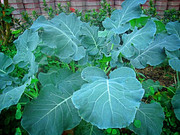 Morris Heading Collards