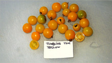 Here is the Tumbling Tom Yellow Tomato, Solanum lycopersicum. This tomato originates from the USA and some claim it to be a hybrid but we found it to be pretty stable. The fruits are a small yellow cherry shaped tomato type with a yellow skin and yellow-cream flesh inside that gets to about 1 inches round and weighting around 1 oz. The thing about this variety is it's a basket variety but a dwarf! Plants can get to 3.5 feet tall in really good soil but plants tend to get to 2.5 feet tall. They are Disease Resistant: V, F, N as well. This is a sub variety of the red Tumbling Tom tomato. Great for salads, eating fresh and for tomato sauce and paste! Open pollinated determinate regular leaf mid season 60-80 days.