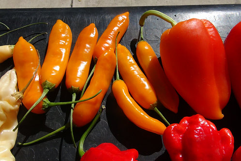Here is the Aji Cito Pepper, Capsicum baccatum, Scoville units: 10,000 ~ 80,000 SHU. This variety originates from Peru and is