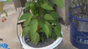Here is the Lunchbox Orange Sweet Pepper, Capsicum annuum, Scoville units: 000 Sweet. This is a nice little sweet pepper with noheat at all! their are a few colors they come in and this listing is for the orange variety. Plants can grow to 18 to24 inches high and do very well in containers. They are medium producers with over a dozen pods on each plant. We found that pruning makes this variety produce even more also keep it in full sun. Fruits are about 3 inches long and very crispy!Great for snacking, salads and frying. Open pollinated 65 days.