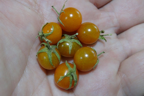 Here is the Galapagos Wild Tomato Minor, Solanum galapagense. It also goes under the botanical name of Lycopersicon cheesmani