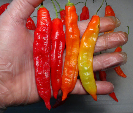 Here is the Aji Minas Gerais Pepper, PI 441565, BGH 1780, Capsicum baccatum var. pendulum, Scoville units: 3000 to 11,000 SHU. This pepper originates from the state of Minas Gerais in Brazil and was first collected in the cities of Boituva, Sao Paulo in October of 1967. Read more HERE.It is a pendulum pepper with pods getting 6 inches long and smooth skinned with slightly bumpiness to them. Pods start out light green in color then turn to yellow then orange and red in color when fully ripe. Plants can get to 4+ feet tall and tend to be a large plants but if pruned they tend to stay small like 3 feet tall. Pods have an nice baccatum or berry like flavor with a very nice smooth crunchiness that is very satisfying but some peppers may be very hot! These make a great drying pepper and hold up well on the grill. They are also great for pickling too! Open pollinated 60 to 85 days.