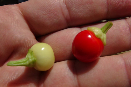 Here is the Hot Marbles Pepper, Capsicum annuum, Scoville units: 300 ~ 55,000 SHU. This listing is for Standard Hot marbles.