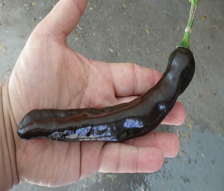 """Here is the GRIF 9148 Pepper, Capsicum annuum, Scoville units: 100 to 1,200 SHU. This pepper originates from Costa Rica. It is a pasilla-type pepper variety that is quite tasty and sometimes refereed to as the """"Holy Mole Pepper"""" but it is NOT the Holy Mole Pepper at all. It is also classified as a Capsicum frutescens L. but in fact that is a miss-classification and is a Capsicum annuum. Pods start out dark green in color then turn to a deep dark brown color when fully ripe and get to 9 inches long. Plants can get to 2 feet tall and tend to be a short type and if pruned they tend to stay very small like 20 inches tall. Pods have an amazing annuum flavor when fresh with a very nice light burn that don't go away very fast! Excellent for drying and pickling! This is a long season variety so start early!. Open pollinated 88 to 120+ days."""