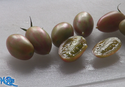 Here is the Lucky Tiger Tomato, Solanum lycopersicum, This tomato was originally created by Fred Hempel in Sunol, California. It is an elongated cherry tomato that will turn slightly yellow when fully ripened. They also have a marbling effect with pink and green in it. This is one of the best tasting tomatoes we tried! perfect for eating fresh an snacking on in the field. Plants tend to be good producers and tend to be diseases resistant. Indeterminate. Open pollinated. 80 days.