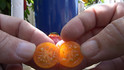 Here is the Galapagos Island Tomato, Solanum cheesmanii. Their are 2 species endemic to the islands. This is the Major species. This is very closely related to Solanum galapagense but is NOT the same as Solanum cheesmanii var minor. A wild tomato found only on the Galapagos Islands. Bears small cherry-like fruits that ripen to orange. Unique for its frilly foliage, large calyx and small hairs. Very rare. This strain could have crossed with the common tomato in its genetics.