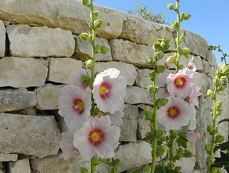 This mixed pack of Hollyhock, Alcea rosea seeds are from seeds we did not have time to package an separate. We then put them all together in one container an offer them as mixed lots. This pack contains seeds from red, yellow orange, purple white! We cannot guaranty you will receive a perfect mix of verities but should get a bit of all! 60-70 days.