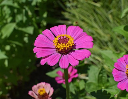 The Zinnia Flowers, Chrysogonum peruvianum L. are Members of the genus are notable for their solitary long-stemmed flowers that come in a variety of bright colors. Zinnias are annuals, shrubs, and sub-shrubs native primarily to North America, with a few species in South America. This lot is for mixed California Zinnia in red, yellow, pink, orange, white and magenta. Open pollinated 60-70 days.