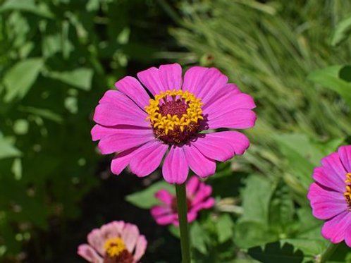 The ZinniaFlowers,Chrysogonum peruvianum L. are Members of the genus are notable for their solitary long-stemmed flowers th