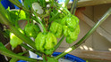 Here is the Trinidad Scorpion Butch T - Pepper, Capsicum chinense, Scoville units: 500,00 ~ 1,463,700 SHU. These peppers originate from Mississippi USA and was created by Butch Taylor of Zydeco Farms. These plants can get to 5 feet tall and produce well over 100 pods per plant! Fruits look very similar to the Trinidad scorpion pepper but are larger in size. There is no information on how this pepper was created but it is not the same as the regular Trinidad scorpion pepper. We found this variety to have a wide range of heat but never fail to deliver a punch. Open pollinated, 90 days.