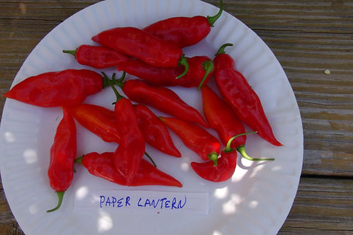Here is the Hot Paper Lantern Pepper, Capsicum chinense, Scoville units 150,000+ SHU. This habanero type pepper is a prolific