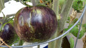 The cosmic eclipse tomato is a new release from Brad Gates, Medium sized 2 to 4 ounce fruits start off green with dark green stripes and striking indigo colored splashes. Fruits ripen to spangled brick-red with green stripes, complemented by lots of black anthocyanin giving this a very striking multi-colored finish. Very good, sweet rich and juicy flavor. Good post harvest shelf life, maintaining superb eating quality for weeks, Very productive. Indeterminate 70 days.