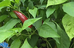 Here is the Mirasol Chile Pepper, Capsicum annuum, Scoville units: 2,500 to 5,000 SHU. The Mirasol Chile Pepper originates from Mexico. It is sometimes called guajillo chile in it's dried form but this is an actual cultivar that is different then the guajillo pepper. It is an upright, medium heat pepper but have had some that were hotter. This variety is considered a landrace variety and is used to make a salsa for tamales. Pods can get to 4.5 inches long. One plant can produce dozens of peppers and get to 30 inches tall and bushy which makes a great house plant. You can Grow it as an ornamental, or in the vegetable garden, or both! Open pollinated, 70 days.