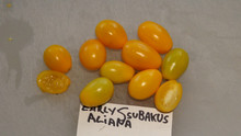Here is the Early Ssubakus Aliana Tomato, Solanum lycopersicum. This tomato originates from Beijing, China and from the Peiping Botanical Gardens and first collected in 1931. The fruits are a small yellow plum tomato type getting to about 1 inch long with a bright yellow skin and a bright yellow flesh inside. The thing about this variety is the clusters of fruits as big as 1.2 inches! Plants can get to 5 feet tall in really good soil but plants tend to get to 4 feet tall. Great for salads and for tomato sauce! Open pollinated Indeterminate regular leaf 55-70 days.