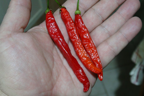 Here is the Tehrani Pepper, Capsicum Frutescens, Scoville Units: 500 ~ 10,000 SHU. This is the true version of this pepper. T