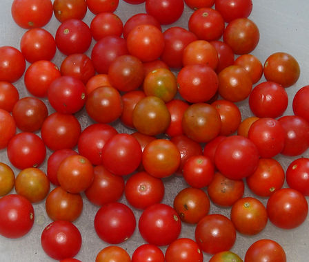 "Here is the Post Office Spoonful Tomato, Solanum lycopersicum. This tomato originates from Pittsburgh Pennsylvania USA. Here is the history as described on seed savers website: ""When she was a girl, Pittsburgh folk singer Cathasaigh encountered a very old man planting tomato plants in front of a post office. The man explained that seeds of these tomatoes had been brought over by his grandmother from Italy, and the tomato had been grown by his family for generations. The man was getting too old to garden, so he planted his last seedlings in front of the post office. It was his hope that people would taste the tomatoes, like them, and plant the seeds so this wonderful tomato could continue. His term for the currant tomatoes was ""spoonfuls."" Cathasaigh tasted, liked, and planted the tomato for years, naming it ""Post Office Spoonful."" She gave seeds to Nancy Carr, who grew them out and sent them to you."". The fruits are currant sized small round cherry type with a deep red skin and orange"