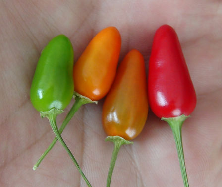 """Here is the Mini Red Pepper, Capsicum annuum,Scoville Units: 200 ~ 1,000 SHU. It is also known as the """"Mini"""" We originally received the seeds from this variety from a seed trade in 2015. This plant can get to 4 feet tall with wiry branches with fruits at each node. Peppers are about 1 inch long that taper to a point. These little peppers are very sweet for their size an are very juicy and fall off the stem when ripe. The plants are very productive and can produce well over a hundred pods per plant! We found these to be really good for drying and used as a flake and also good for pickling too! Open pollinated 70 days from transplanting."""