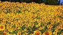 """Titan Sunflower,Helianthus annuus isone of tallest varieties available! This Plants grow to 12 feet tall with heads up to 24"""" across! For the best grow, sunflowers need full sun so make sure you plant it to get the max sun light. They also grow best in fertile, moist, well-drained soil with heavy mulch. This one is a true marvel! Open pollinated, late season 70 to 86 days."""
