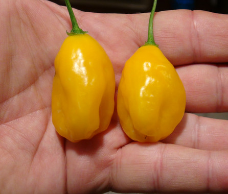 """Here is the El Oro de Ecuador Pepper, Capsicum bacattum, Scoville units: 100 to 2000 SHU. This pepper originates from Ecuador and is sometimes called and or translated to """"The gold of Ecuador"""". It is a rocoto shaped pepper but is NOT a rocoto and doesn't have black seeds. Pods start out green then ripen to lemon yellow in color when fully ripe with skins that are smooth and crispy. Plants can get to 5 feet tall and produce dozens of fruits per plant. Pods have an amazing rich flavor with a low burn that don't last very long! The fruit size ranges from 1.5 to 2.5 inches around and can produce dozens peppers per plant. Open pollinated mid to late season 70 to 98 days."""