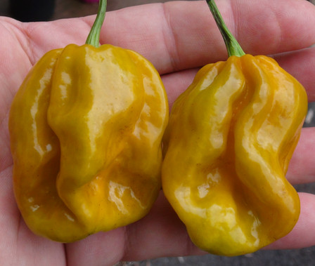 Here is the Mustard Habanero Pepper, Capsicum chinense,  Scoville Units: 100,000 ~ 325,000 SHU. This is the true version of this pepper. These Peppers can get quite large as big as 3 inches long! Plants can grow to 3+ feet tall with a bush like shape. Plants are also very productive producing well over 2 dozen pods per plant. Fruits are mustard in color when ripe and has a very smooth flavor with a mild fruity taste almost berry like taste! However the heat can have a wide range with some not being so hot at all an others that will roast you. Best grown in full sun by itself away from other plants. Fruits ripen late in the season. Open pollinated 85 days.
