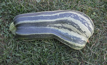 Green Striped Crookneck Cushaw Squash