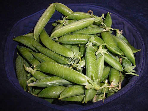 Here is the Sugar Daddy Pea, Pisum sativum.This is a mid to late season type pea and is a good producer. They are prolific a