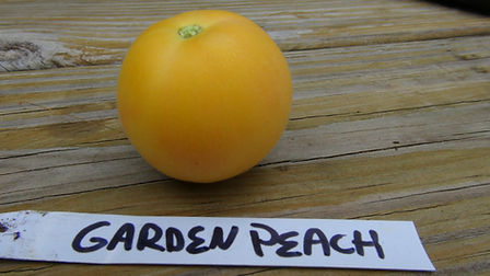Here is the Garden Peach Tomato, Solanum lycopersicum. This tomato is known for it's peach fuzz on the fruit. In Peru, they are known as the Coconas but don't confuse this with Solanum sessiliflorum Which is also called Coconas. They were Introduced to North America in the mid 1800's. It is a small, bright yellow fruit is the standard globe shape of tomato but with this peach fuzz on it. The fruits are about 2 oz. and around 2.5 inches round. It is a good producer and has an interesting flavor. There is sometimes a red or pink blushing to the fruit when ripe. Open pollinated Indeterminate, 65 days from transplant.