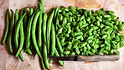 """Here is the Blue Lake 47 Bush Bean, Phaseolus vulgaris. This bush bean variety is a stringless snap bean early type and also considered a """"cut an come again"""" kind.The more you pick the more they produce!It was developed as a canning bean at first and then it became very popular in home gardens for there crisp raw salad type bean. It was created from the Blue Lake pole bean in 1961 and now the blue lake 47 is an improved version with better yields and better bug resistance as well as Resistingbean mosaic virus. Very heavy producer with plants only getting 18 inches tall. Very easy to grow and great for all ages! Open pollinated 65 days from transplanting."""