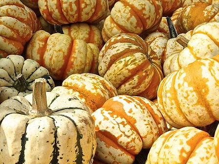 Here is the Ornamental Gourd Mixed seeds, Cucurbita pepo. They are sometimes referred to as Flower Hybrid gourds! They come in many shapes an sizes with a very unique color pattern. They are edible and can rage from 3 inches to 6 inches in size. These gourds are often seen in grocery stores around Halloween as a decorate item more then an edible vegetable. We will provide more information on our next harvest! Open pollinated 90 to 100 days.