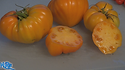 """Here is the Orange German Strawberry Tomato, Solanum lycopersicum, new for 2018. This regular-leaf strawberry tomato is a golden variety where as most are pink or red. some may call this type of tomato a ox heart tomato, we found this variety to come true every year from seed. It is a good producer an found this tomato variety to be very hardy and resistant to most blights. The fruits do vary in size an shape and can reach 3.5"""" across and 3 to a bract. Great for making sauces or eating fresh in salads, open pollinated 75 days."""