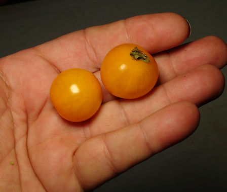 """Here is the Cereza Amarilla Tomato , Solanum lycopersicum. We believe this tomato originates from the country of Suriname in south America but don't have proof to this claim. Some websites say it's a commercial variety but again we can't prove this. Cereza Amarilla translates in Spanish to """"Yellow Cherry"""". They produce very large clusters of fat large sized cherry tomatoes that are yellow. They are juicy and very sweet! The strange thing about this one is it's a potato leaf which is very rare for a cherry tomato variety. Great for salads and for tomato soups! Open pollinated Indeterminate potato leaf 65-85 days."""
