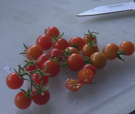 The Matt's wild cherry tomato, Solanum lycopersicum Var. cerasiforme, is originally from Hidalgo in Eastern Mexico where it grows wild. The plant can grow to 10 feet tall and produce thousands of current sized tomatoes. Very sweet and easy to eat. if let to drop tomatoes is will self seed and come up every year! It is a Indeterminate, regular leaf tomato plant. Open pollinated. Indeterminate. 50-70 days.