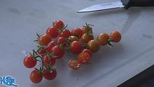 Matt's wild cherry tomato