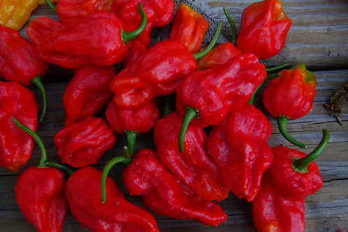 Here is the Bhut Jolokia Red Pepper, Capsicum chinense, Scoville units: 1,041,427 SHU. This is the original version of the gh