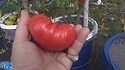 Here is the Dester Tomato, Solanum lycopersicum, This indeterminate, regular-leaf tomato takes longer to produce mature fruits, about 80 - 90 days. These are bigger than the standard beefsteak tomatoes, reaching a width of about 3 1/2 inches and a length of about 4 inches. and can get to around 3 Lbs. Plants tend to get quite huge! Great for making sauces and slicing for a hamburgers. Open pollinated 90 days.