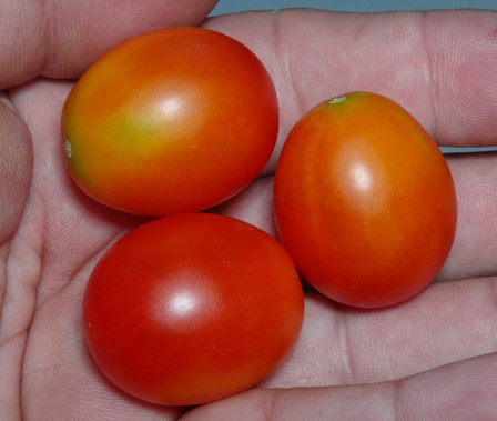 Here is the Isis Candy Tomato, Solanum lycopersicum. This tomato originates from New Jersey, USA and was created by Joe Bratka of SSE. This is a strange cherry sized tomato that has a Bi-colored orange skin and orange flesh inside getting to about .75 inches round and weighting around .5 oz. The thing about this variety is it's Bi-colored skin with red on orange stripping! Plants can get to 6 feet tall in really good soil but plants tend to get to 4.5 feet tall. The fully ripened fruits will have a deep rich color to them. Great tasting tomatoes for salads, eating fresh and for tomato sauce and paste! Open pollinated indeterminate regular leaf mid season 55-67 days.