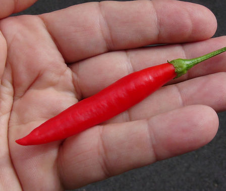 Here is the Aji Peruvian Pepper, Capsicum Baccatum, Scoville units: 1,000 ~ 30,000 SHU. This wild baccatum variety from Peru is mildly hot and has a strong berry like aroma. It is one of the most productive varieties in the entire baccatum family. The plant sets hundreds of 3 inches long pods turning from green to orange to bright red. The ripe pods has very sweet flavor making them great for fresh eating or drying and pickling. Plants can get as big as 6.5 feet tall and really spread out and wiry. Early season producer open pollinated, 60 days to end of season.