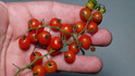 Here is the Sweet Pea Currant Tomato, Solanum pimpinellifolium. This currant tomato was Introduced by SSE in 2004. These plants can get quite large and make great for hanging baskets. Heavy producer with as many as several hundred tiny currant tomatoes. These plants love lots of water and the more you water the bigger they get! Easy grow even for someone who never grew tomatoes before. Open pollinatedRegular leaf Indeterminate mid season55-75 days.