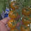 The Gobstopper tomato, Solanum lycopersicum, is a indeterminate, regular-leaf tomato and is one of the nicest snacking tomato
